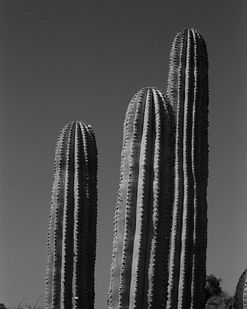 Tall cacti in solarized black and white