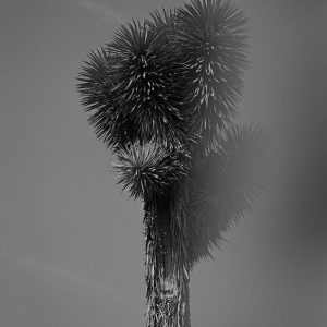 Joshua tree in black & white