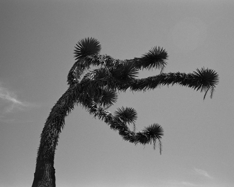Crooked joshua tree against a clear sky